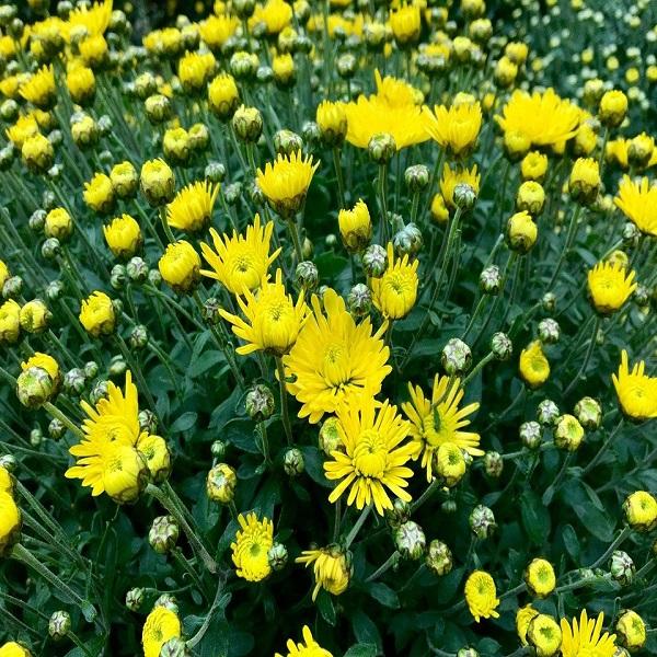 mua hạt hoa cúc vàng