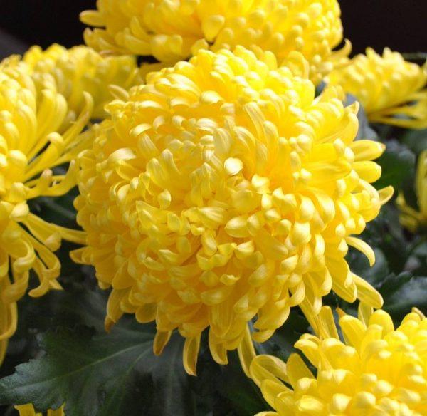 hạt hoa cúc vàng