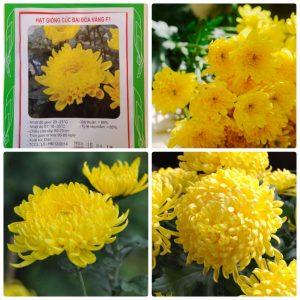 Giá hạt giống hoa cúc vàng