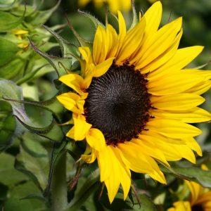 hạt giống hoa Hướng Dương giá tốt
