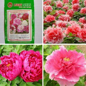 Địa chỉ cung cấp hạt giống hoa mẫu đơn