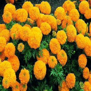 Hạt Giống Hoa Vạn Thọ