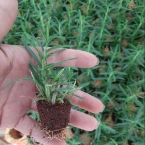 hạt giống cây hương thảo