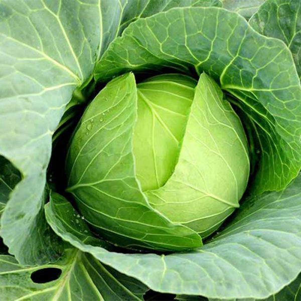 giá hạt giống bắp cải