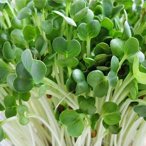 hạt giống rau mầm uy tín