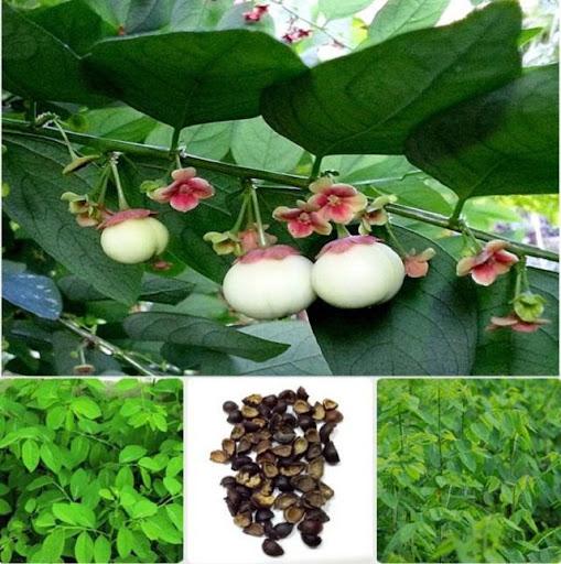 Rau ngót là loài cây được trồng rất nhiều để cung cấp rau ăn lá