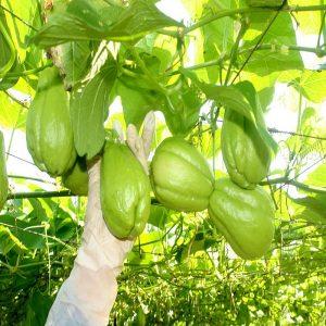 hạt giống cây su su