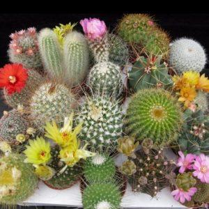 hạt giống hoa xương rồng