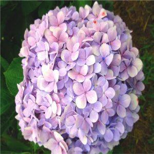 Hạt hoa cẩm tú cầu
