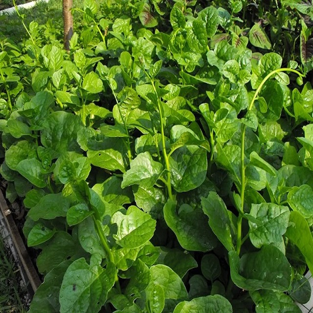 Lựa chọn đơn vị cung cấp hạt giống mồng tơi uy tín