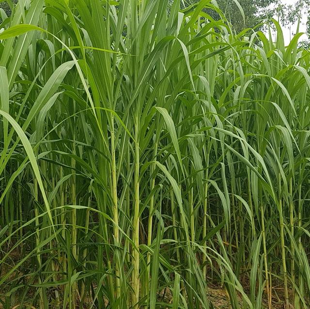 Lựa chọn hạt giống cỏ voi