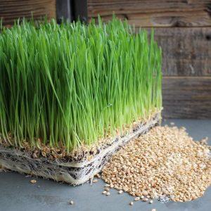 Mầm lúa mì rất giàu dưỡng chất tốt cho sức khỏe