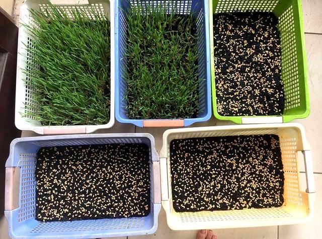 Quá trình gieo hạt giống lúa mì