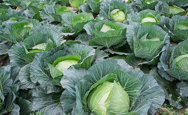 Rau bắp cải rất giàu dinh dưỡng