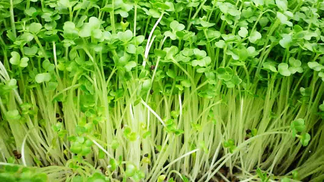 Rau mầm cải xanh