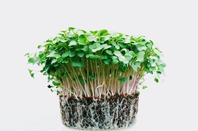 Rau mầm từ hạt giống cải củ