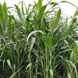 Vườn mặt trời đơn vị cung cấp giống cỏ voi chất lượng