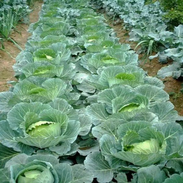 Vườn mặt trời – đơn vị cung cấp hạt giống bắp cải uy tín