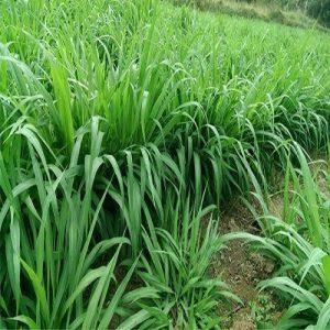 giá giống cỏ ghine mombasa