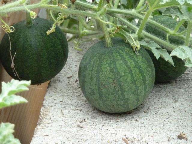 Vườn mặt trời đơn vị cung cấp hạt giống dưa hấu chất lượng
