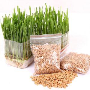 Vườn mặt trời đơn vị cung cấp hạt giống lúa mì chất lượng