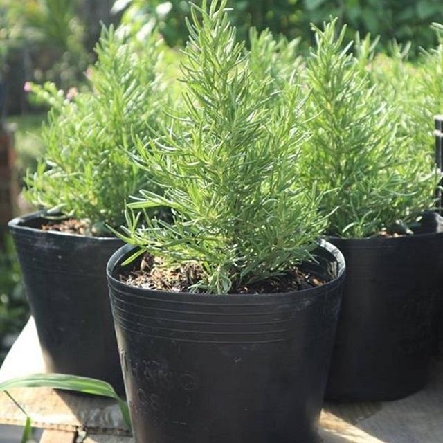 Vườn mặt trời đơn vị cung cấp cây hương thảo uy tín