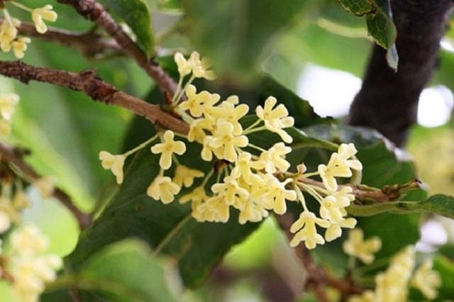 Mộc Hương là cây gì?