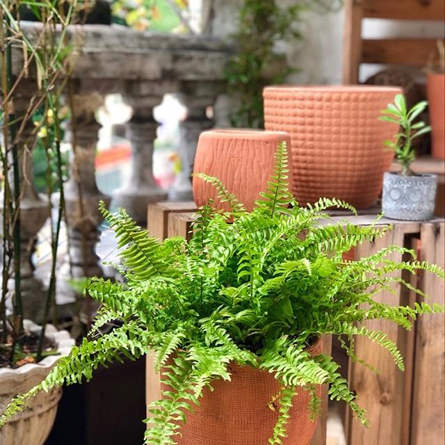 Cách trồng cây dương xỉ đúng kỹ thuật