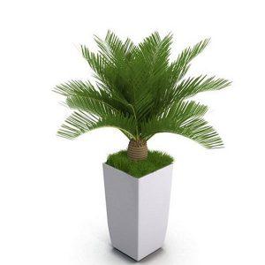 ý nghĩa cây vạn tuế