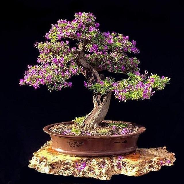 Công dụng của cây linh sam là gì?