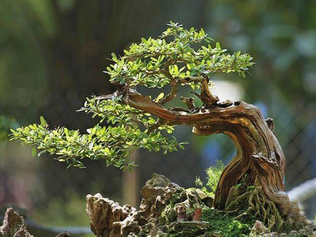 Về đặc điểm của cây linh sam