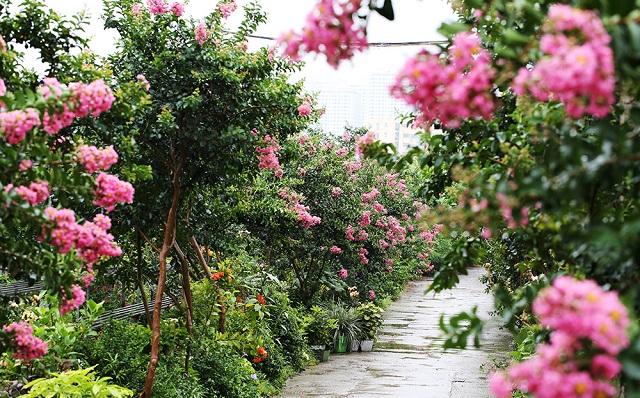 Hoa tường vi làm đẹp không gian