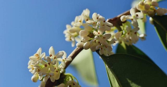 Ý nghĩa của cây Mộc Hương bạn có biết?